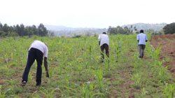 Sirisia-Farm-Fertilizer-Top-Dressing-and-Weed-Control_4